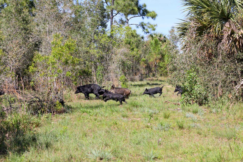 Hog Hunting in Punta Gorda